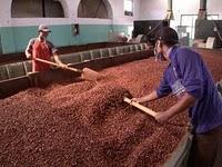 Mikroba pada fermentasi biji coklat